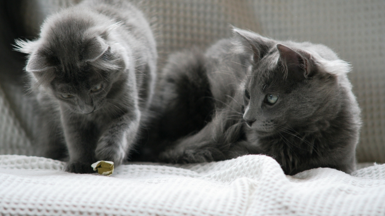 Beautiful Pair of Nebelung Cats for 1280 x 720 HDTV 720p resolution