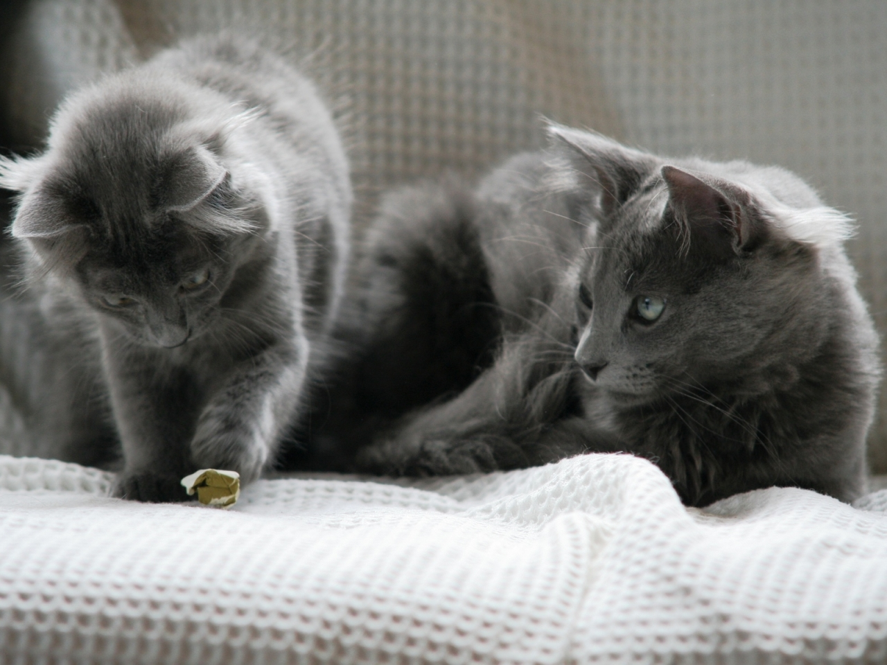 Beautiful Pair of Nebelung Cats for 1280 x 960 resolution