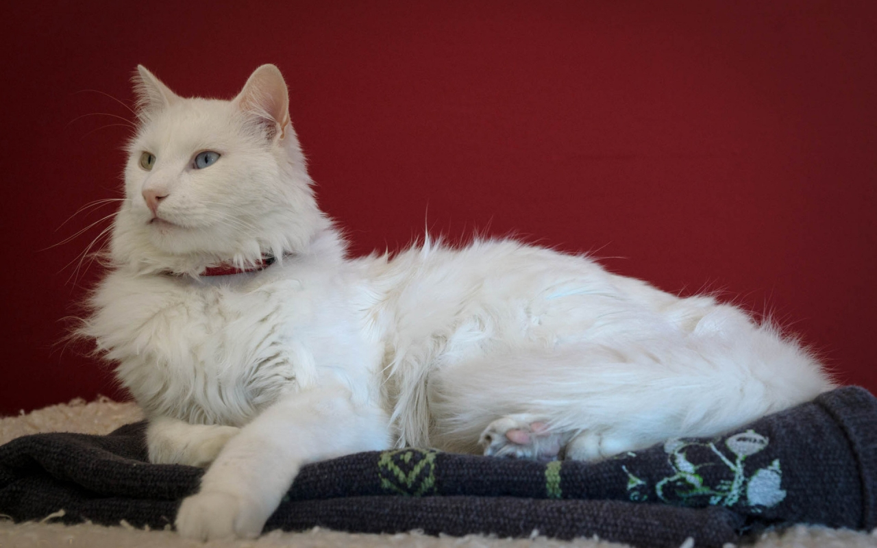 Beautiful Turkish Angora Cat for 1280 x 800 widescreen resolution