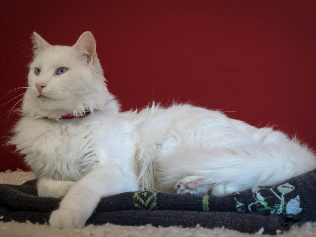 Beautiful Turkish Angora Cat for 1280 x 960 resolution