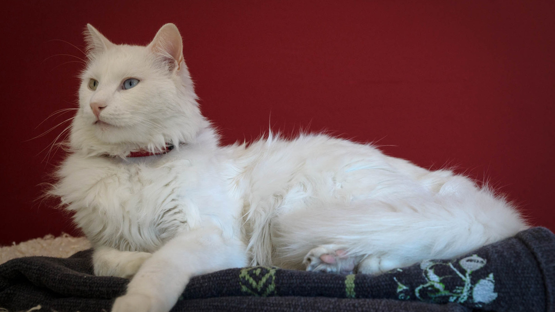 Beautiful Turkish Angora Cat for 1920 x 1080 HDTV 1080p resolution