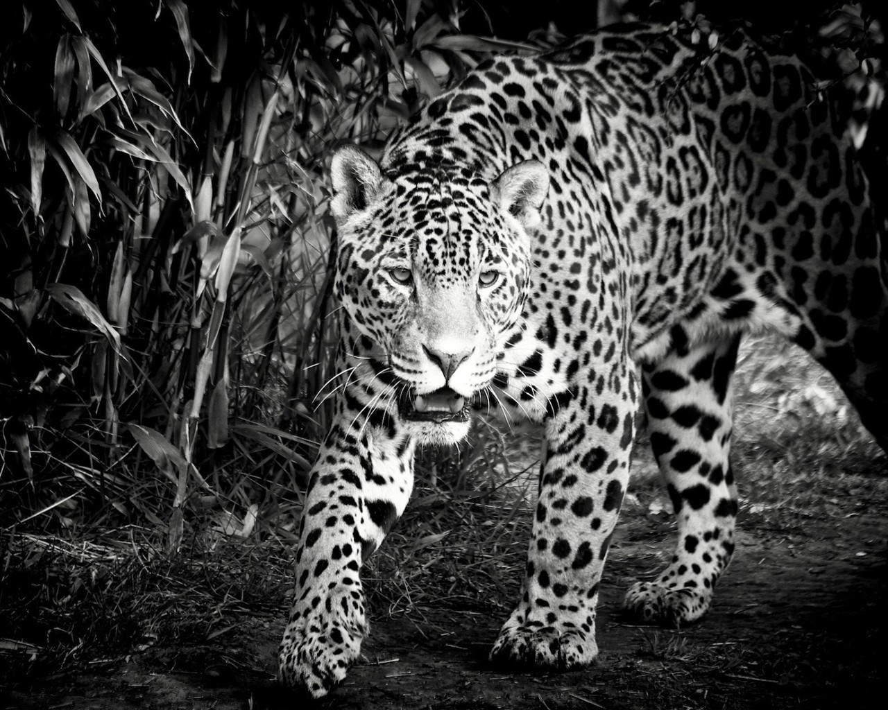 Black and White Jaguar for 1280 x 1024 resolution