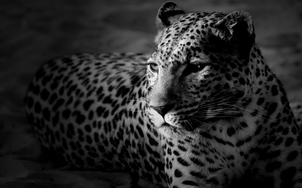 Black And White Leopard 1280 X 800 Widescreen Wallpaper