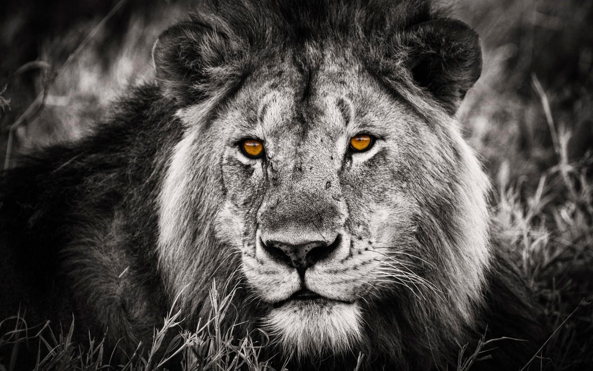 Black And White Lion Portrait Hd Wallpaper Wallpaperfx