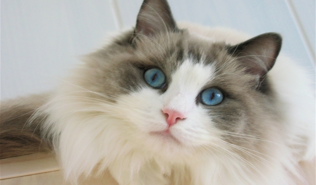 Blue Eyes Ragdoll Cat for 1024 x 600 widescreen resolution