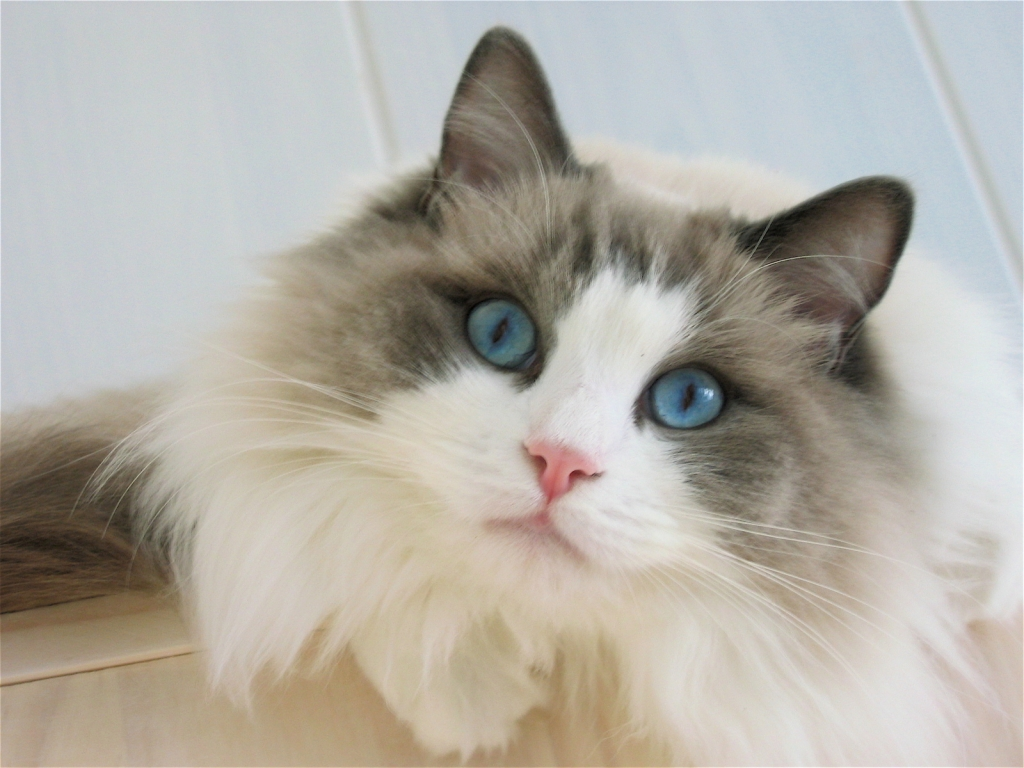 Blue Eyes Ragdoll Cat for 1024 x 768 resolution