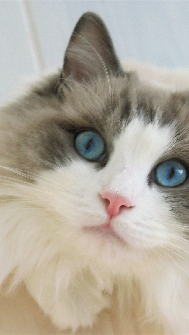 Ragdoll Cat Iphone Wallpaper