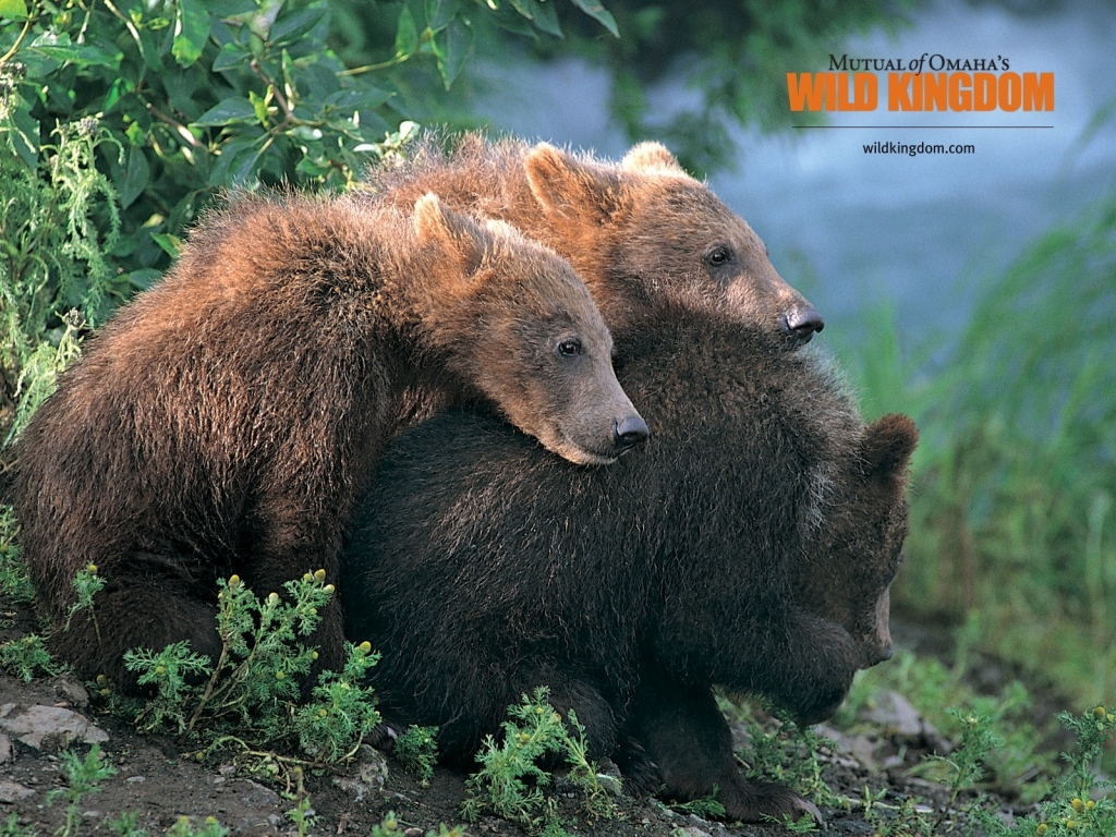 Brown Bears for 1024 x 768 resolution