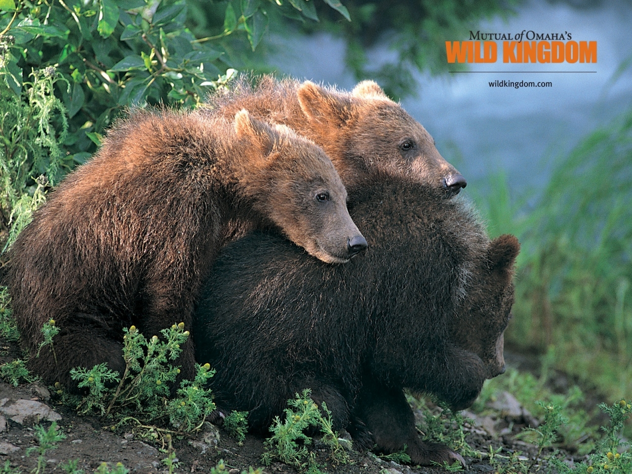 Brown Bears for 1280 x 960 resolution
