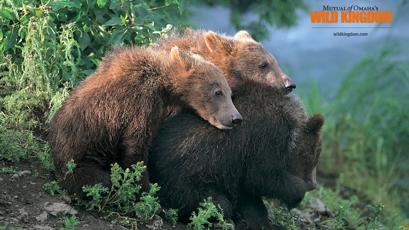 Brown Bears for 1366 x 768 HDTV resolution