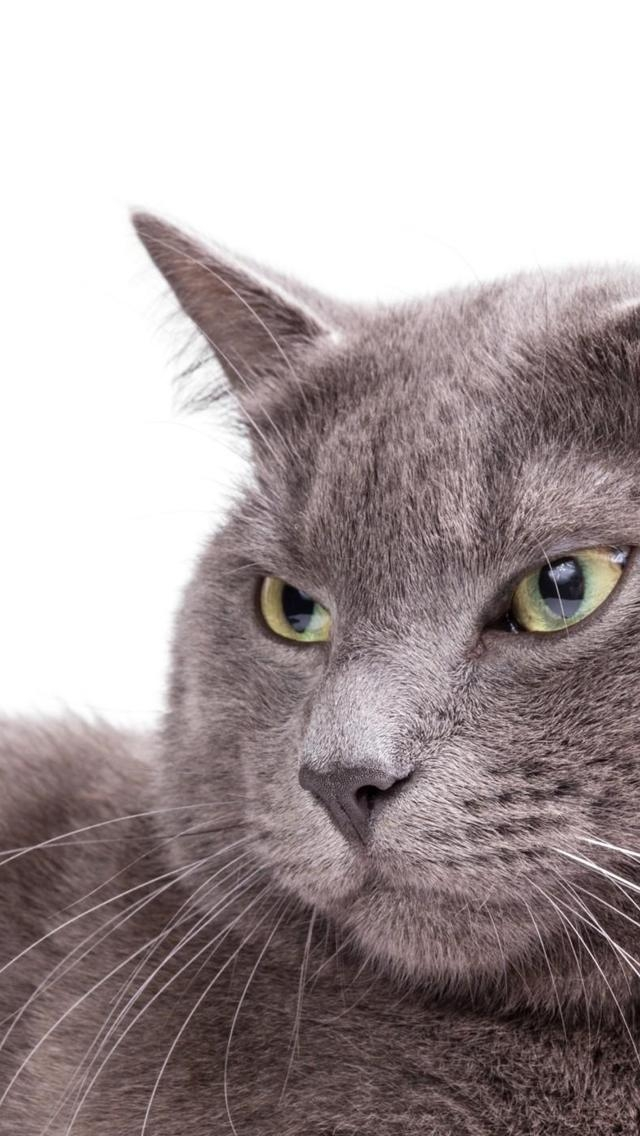 Burmese Cat Close Up for 640 x 1136 iPhone 5 resolution