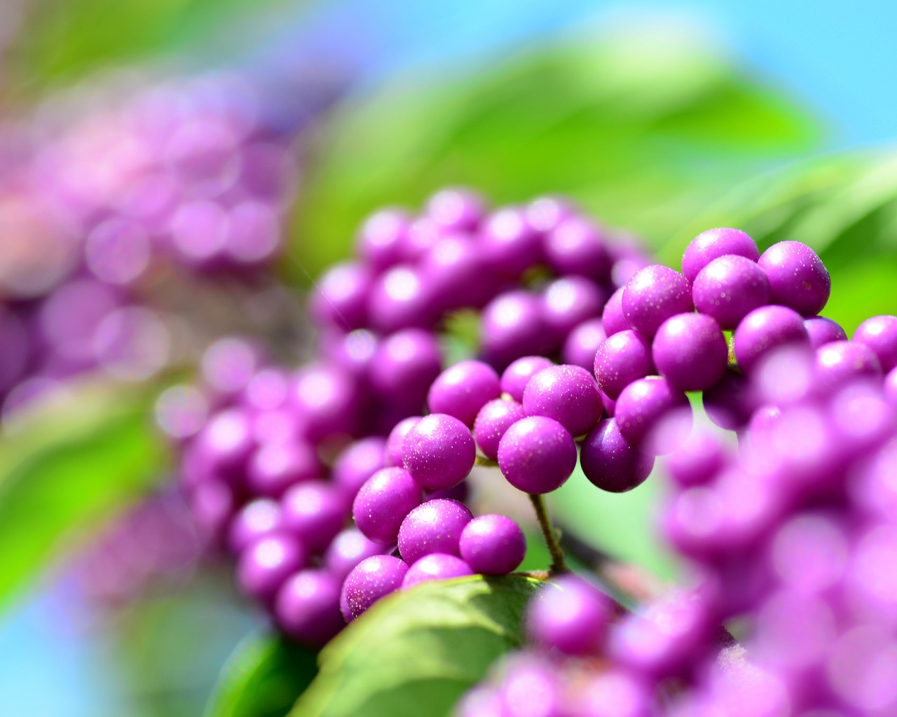 Callicarpa Berries for 1280 x 1024 resolution