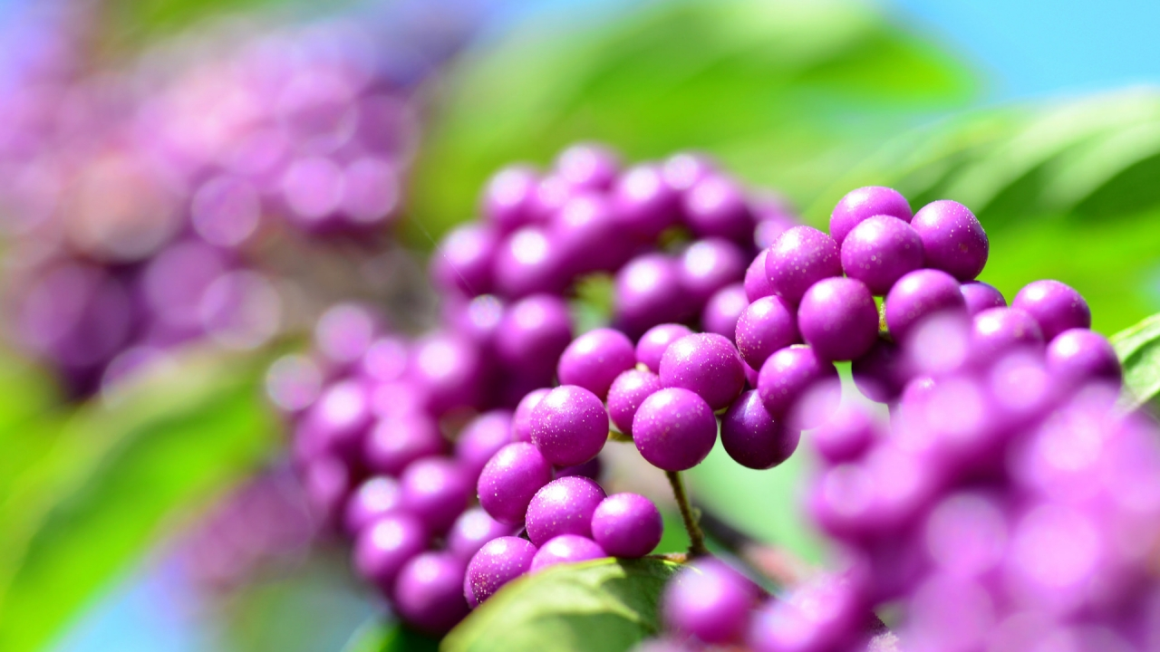 Callicarpa Berries for 1280 x 720 HDTV 720p resolution