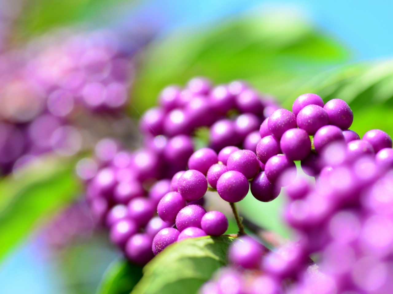 Callicarpa Berries for 1280 x 960 resolution