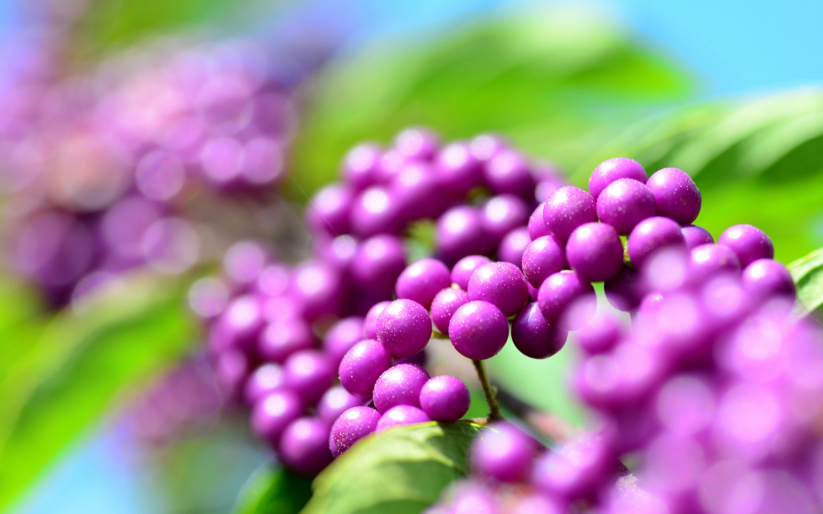 Callicarpa Berries for 1680 x 1050 widescreen resolution