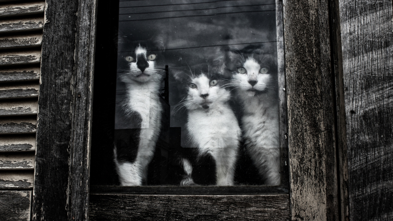 Cats Sitting at Window for 1366 x 768 HDTV resolution