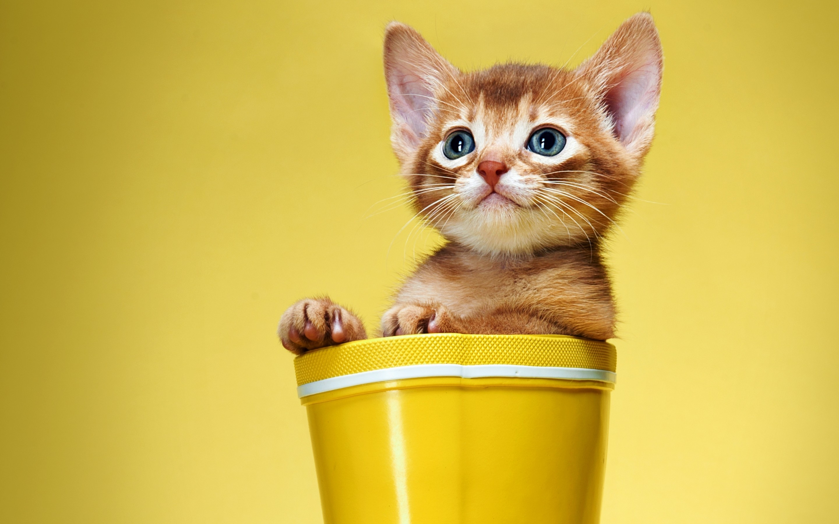 Cute And Sweet Kitty Hd Wallpaper Wallpaperfx