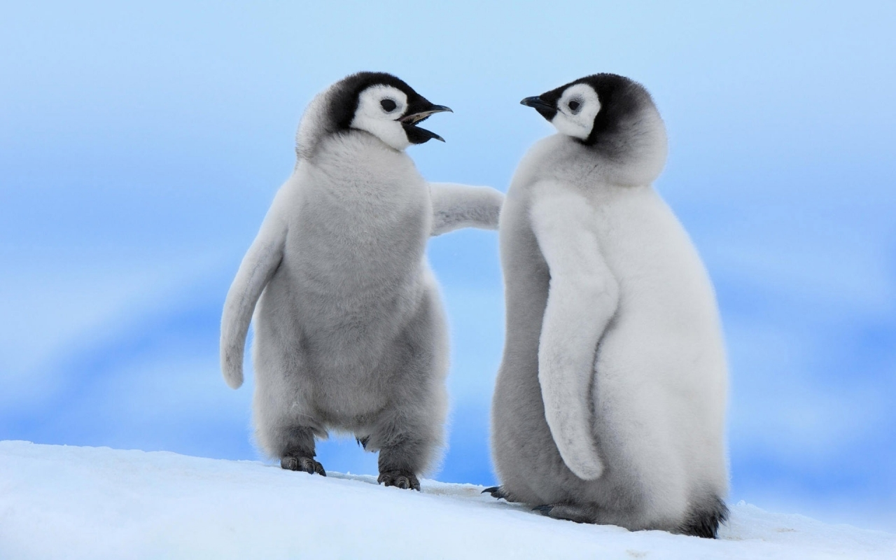 Cute Baby Penguins for 1280 x 800 widescreen resolution