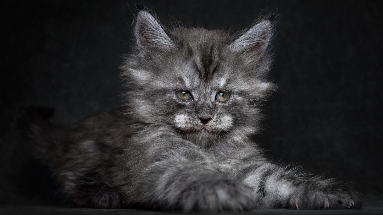 Cute Fluffy Kitten Hd Wallpaper Wallpaperfx