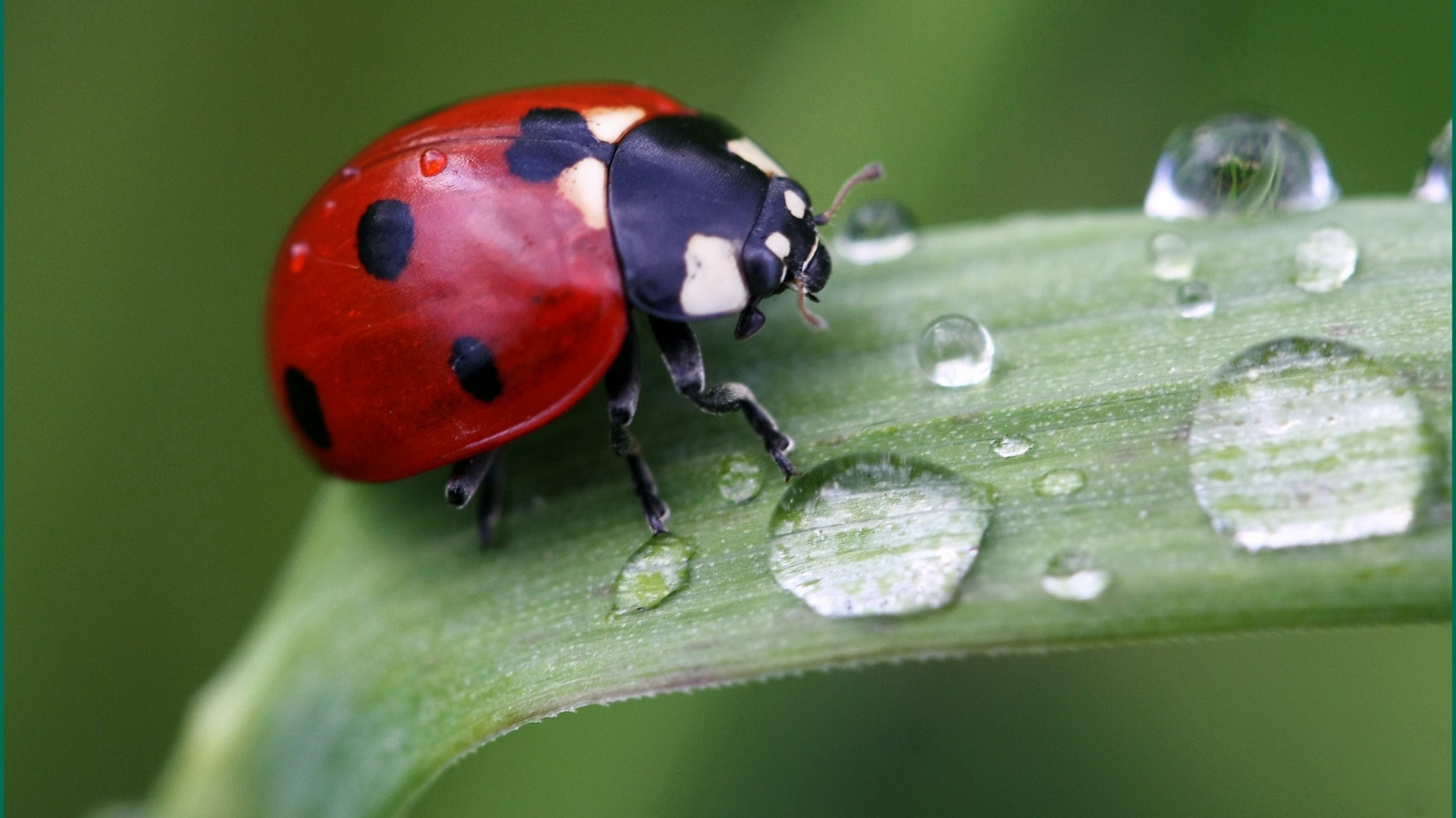 Cute Ladybird for 1920 x 1080 HDTV 1080p resolution