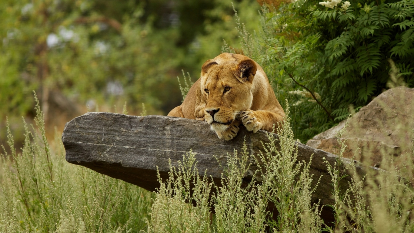 Cute Lion Relaxing for 1366 x 768 HDTV resolution