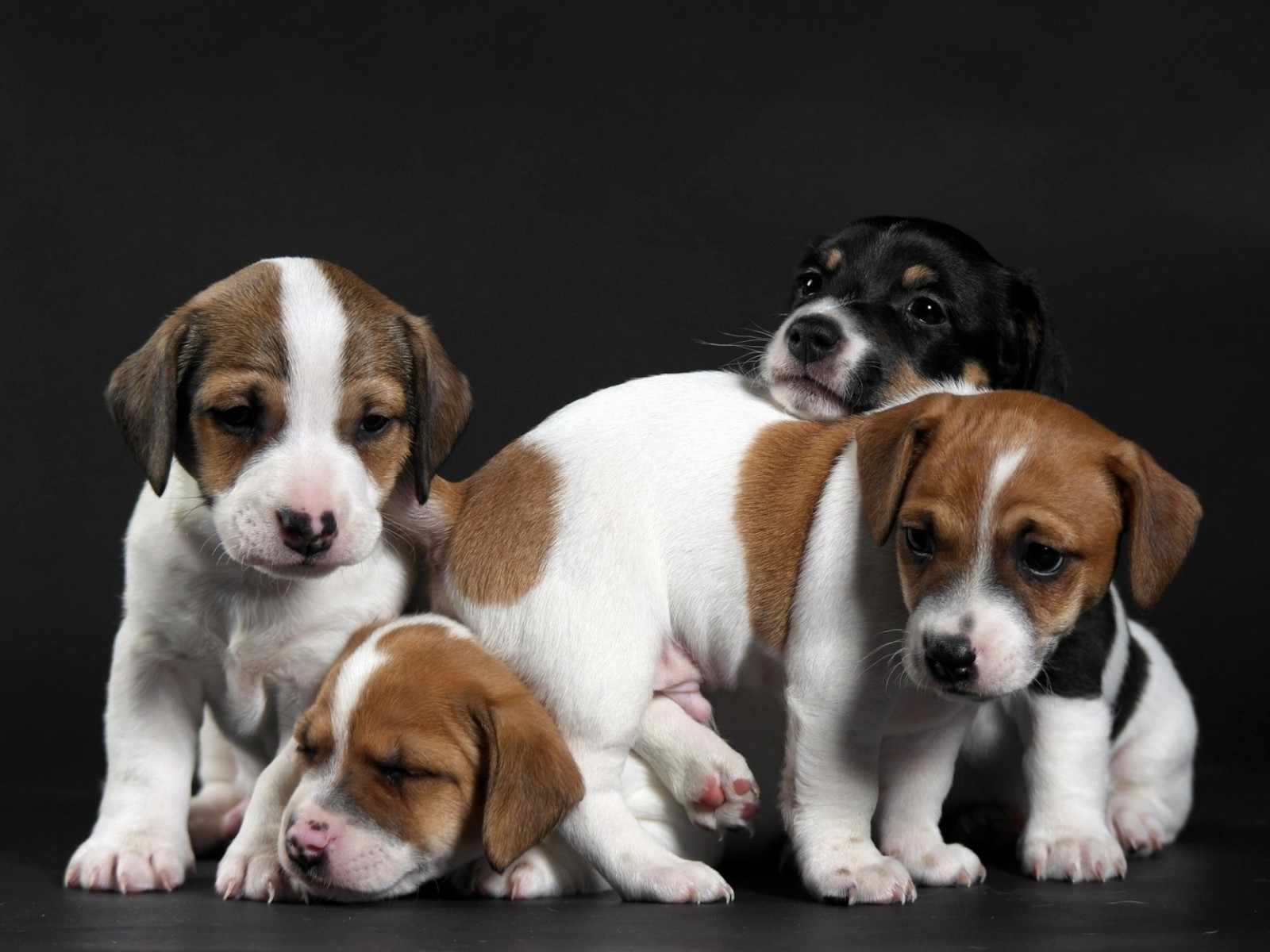 Cute Little Puppies for 1600 x 1200 resolution