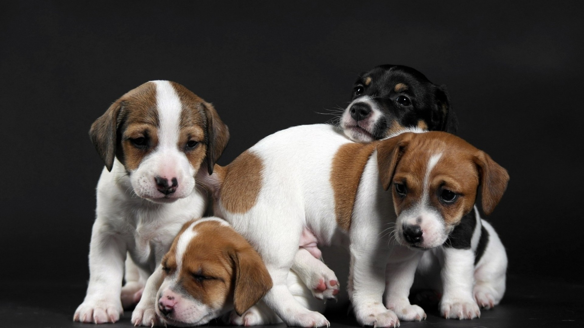 Cute Little Puppies for 1920 x 1080 HDTV 1080p resolution