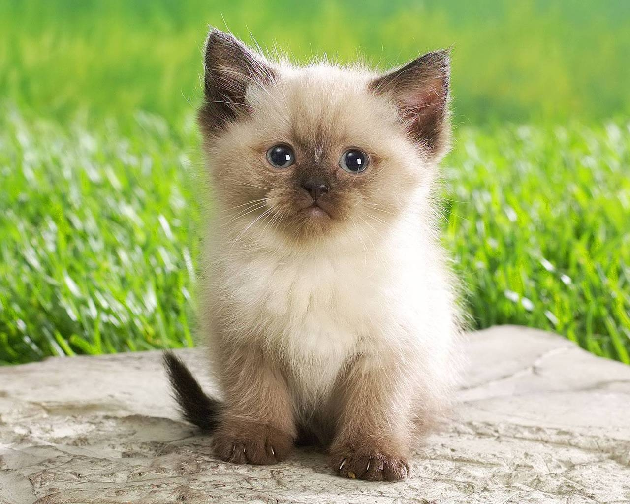 Cute Persian Kitty for 1280 x 1024 resolution