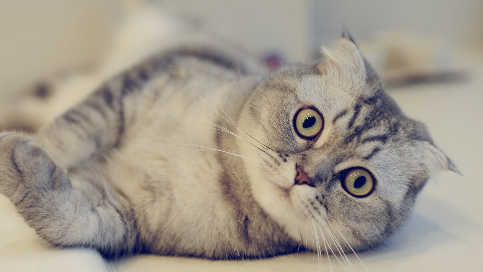 Cute Scottish Fold Cat  for 1600 x 900 HDTV resolution