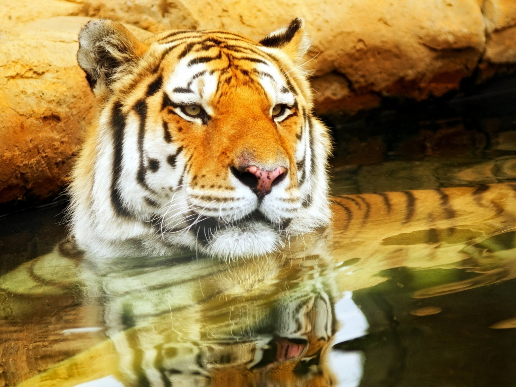 Cute Young Tiger for 1024 x 768 resolution
