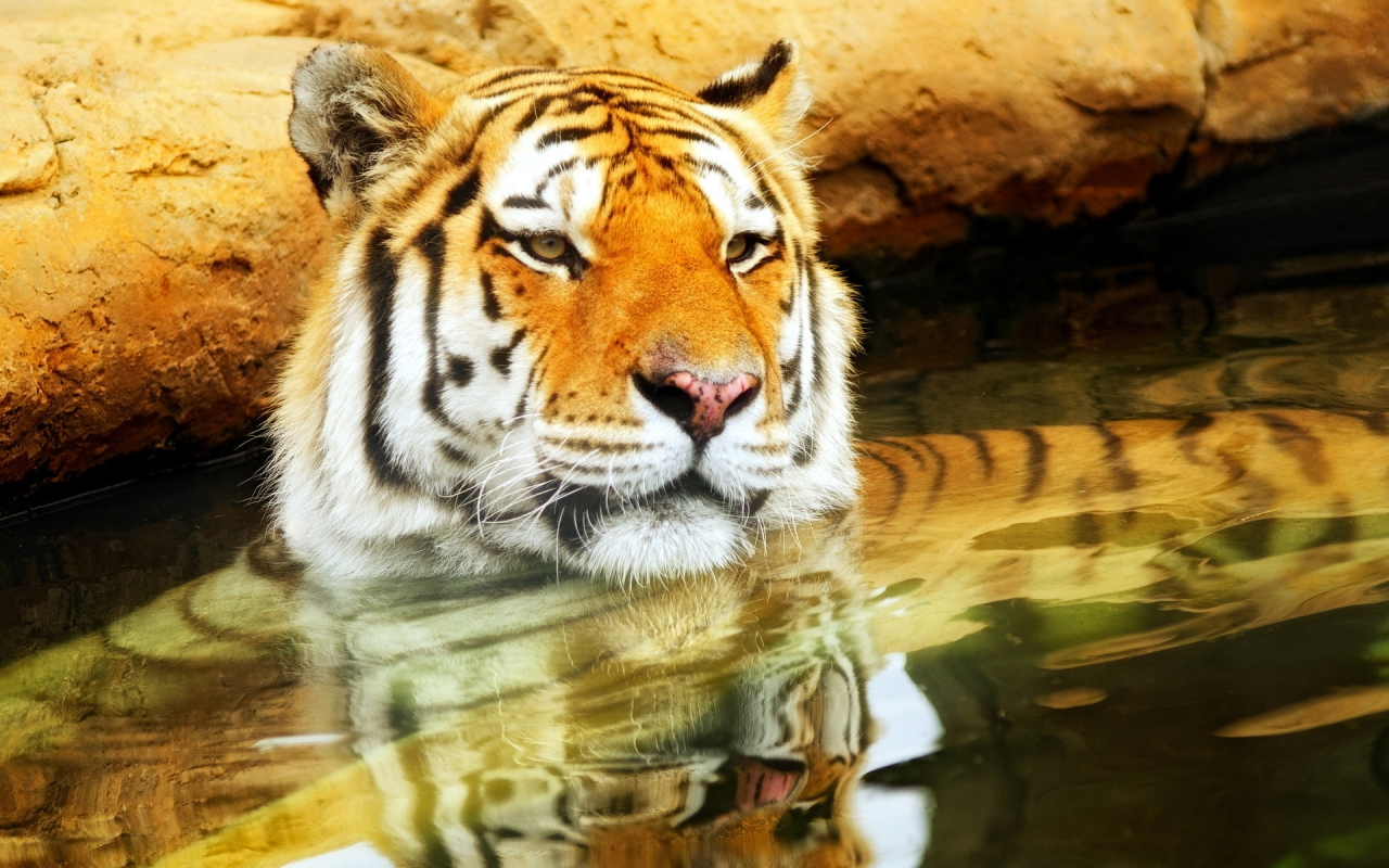 Cute Young Tiger for 1280 x 800 widescreen resolution