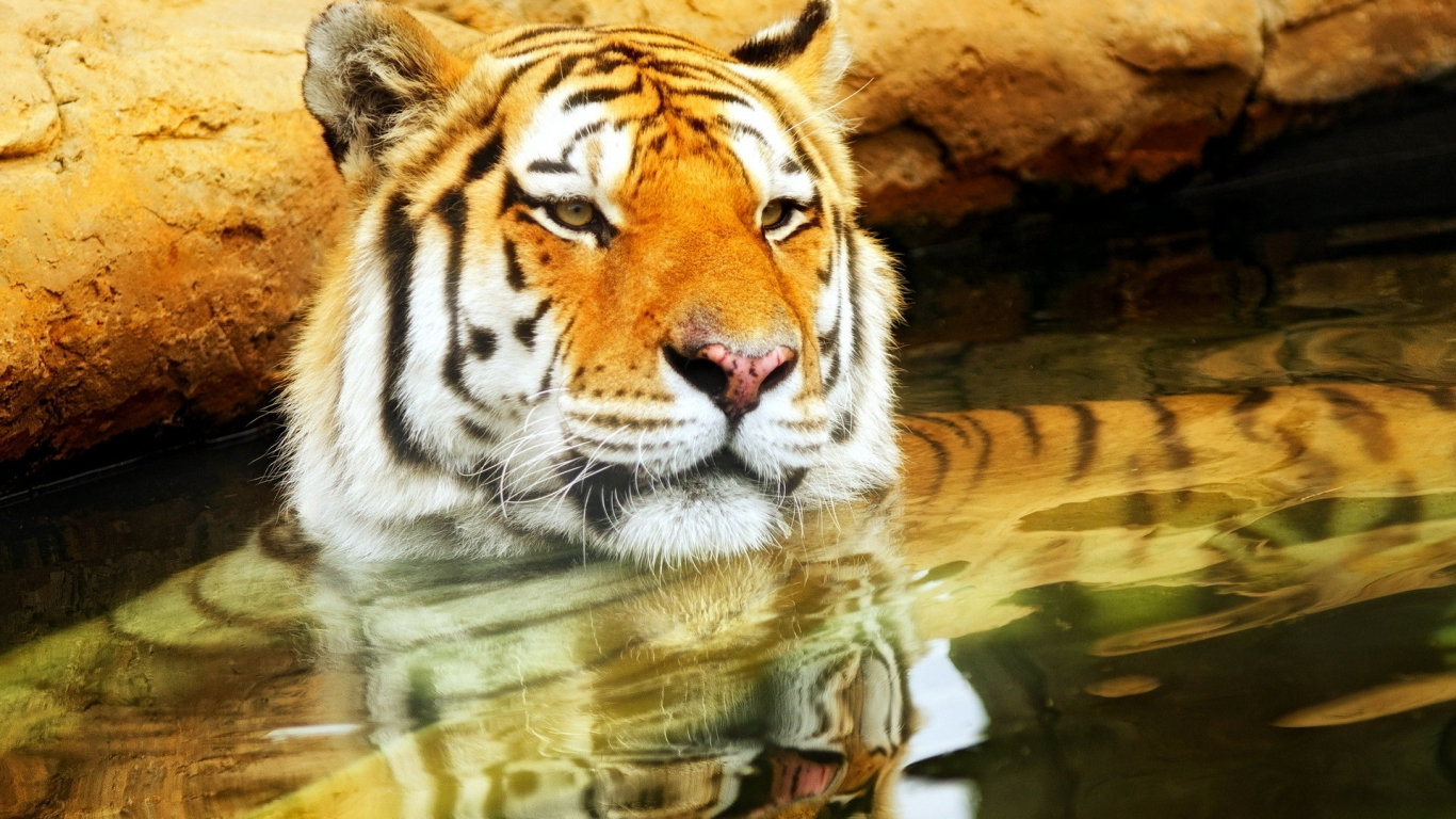 Cute Young Tiger for 1366 x 768 HDTV resolution