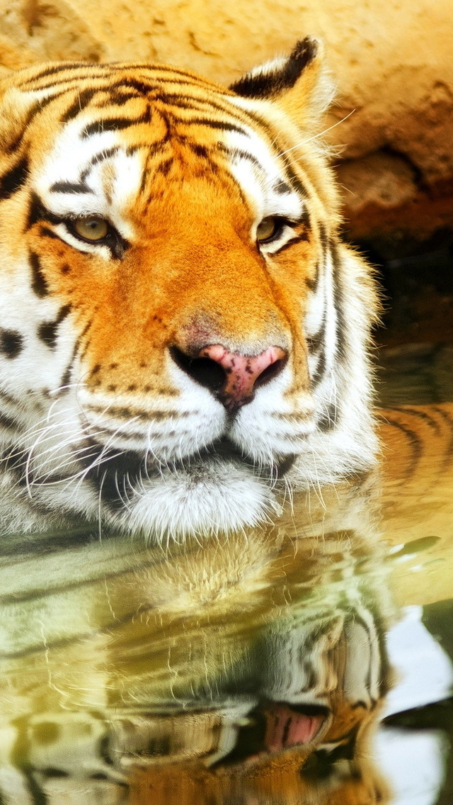 Cute Young Tiger for 640 x 1136 iPhone 5 resolution