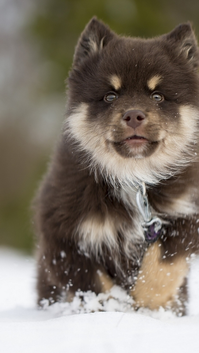 Finnish Lapphund Puppy for 640 x 1136 iPhone 5 resolution