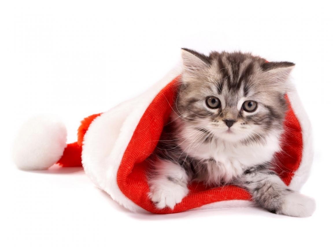 Fluffy Cat In Santa Hat Hd Wallpaper Wallpaperfx