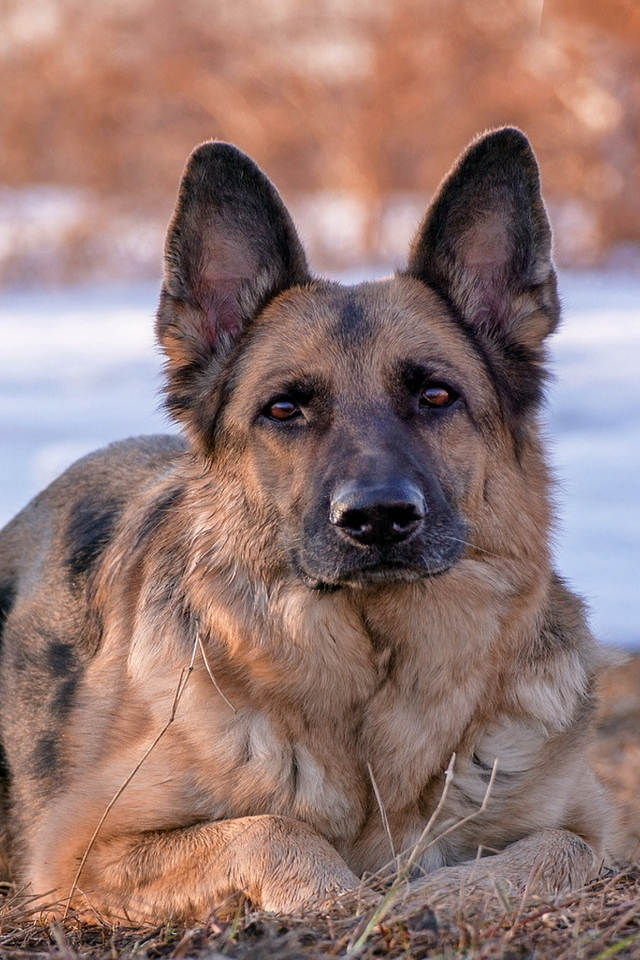 German Shepherd Dog for 640 x 960 iPhone 4 resolution