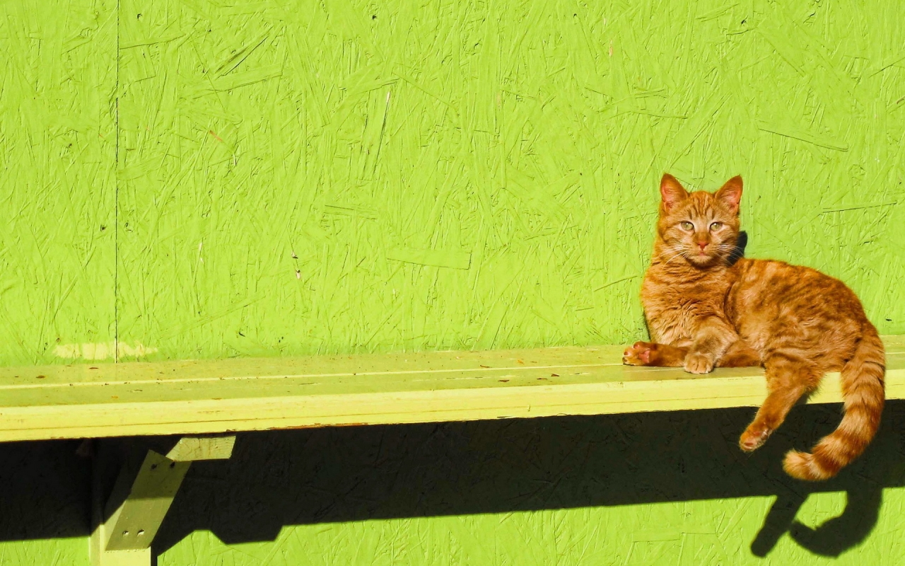 Ginger Cat Sitting on a Bench for 1280 x 800 widescreen resolution