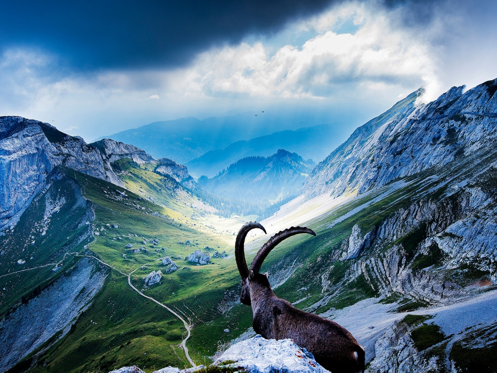 Goat at Mount Pilatus for 1024 x 768 resolution
