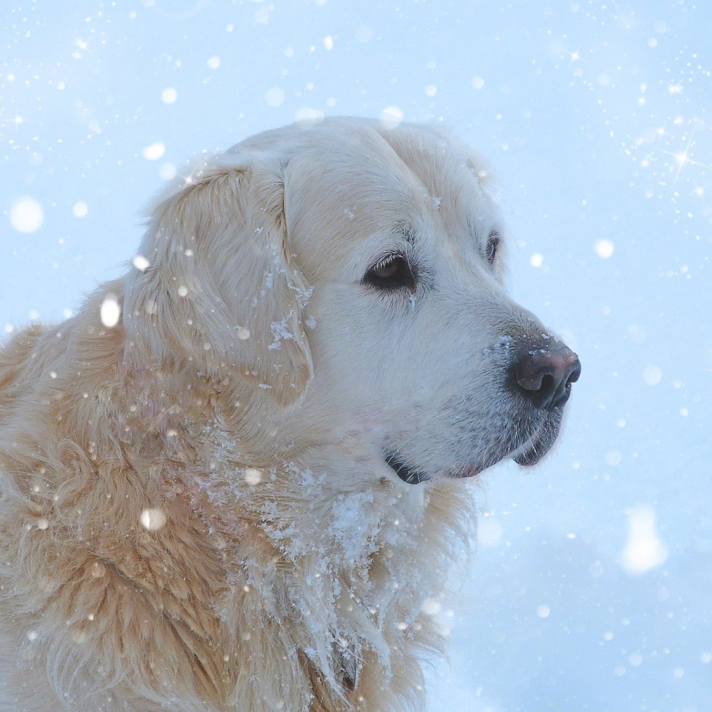 Golden Retriever Snowing for 1024 x 1024 iPad resolution