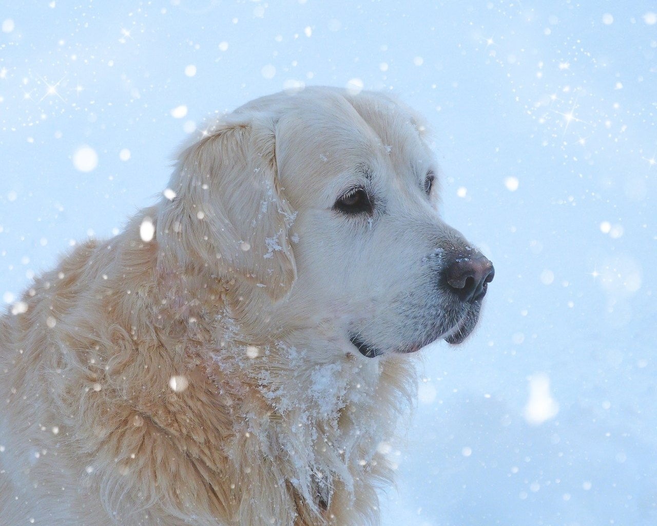 Golden Retriever Snowing for 1280 x 1024 resolution