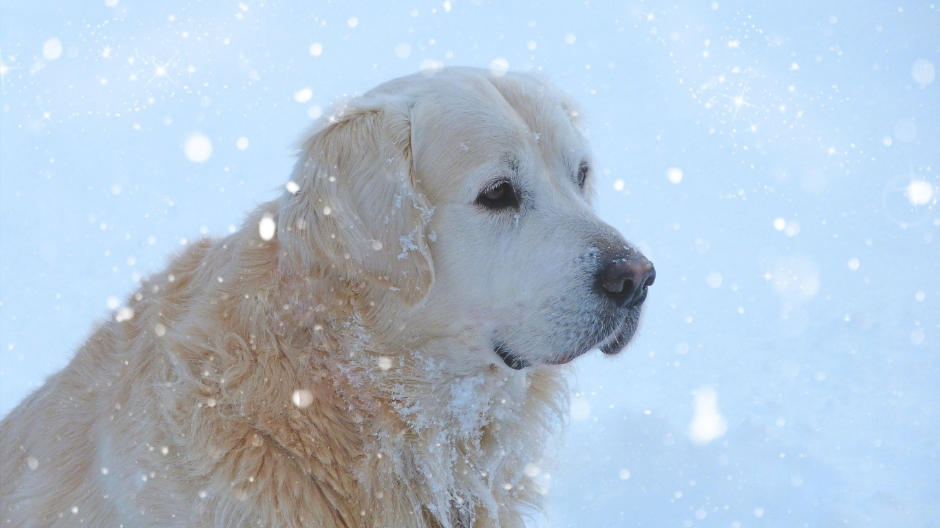 Golden Retriever Snowing for 1366 x 768 HDTV resolution