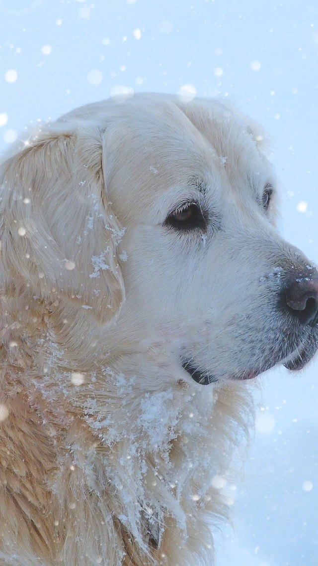 Golden Retriever Snowing for 640 x 1136 iPhone 5 resolution