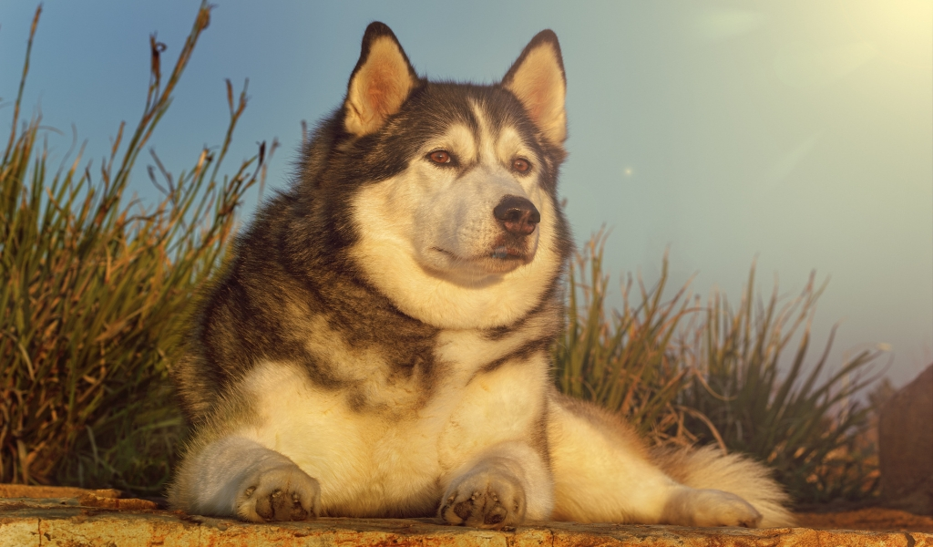 Gorgeous Husky for 1024 x 600 widescreen resolution
