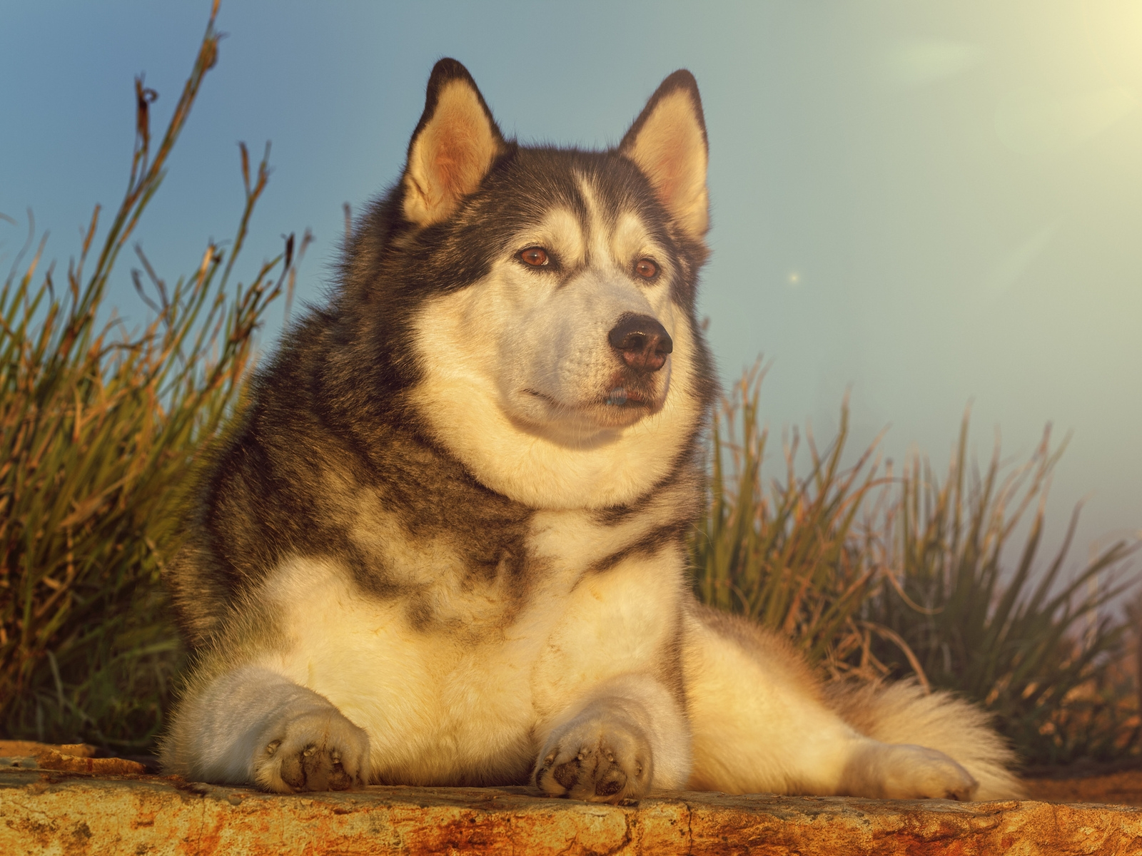 Gorgeous Husky for 1600 x 1200 resolution