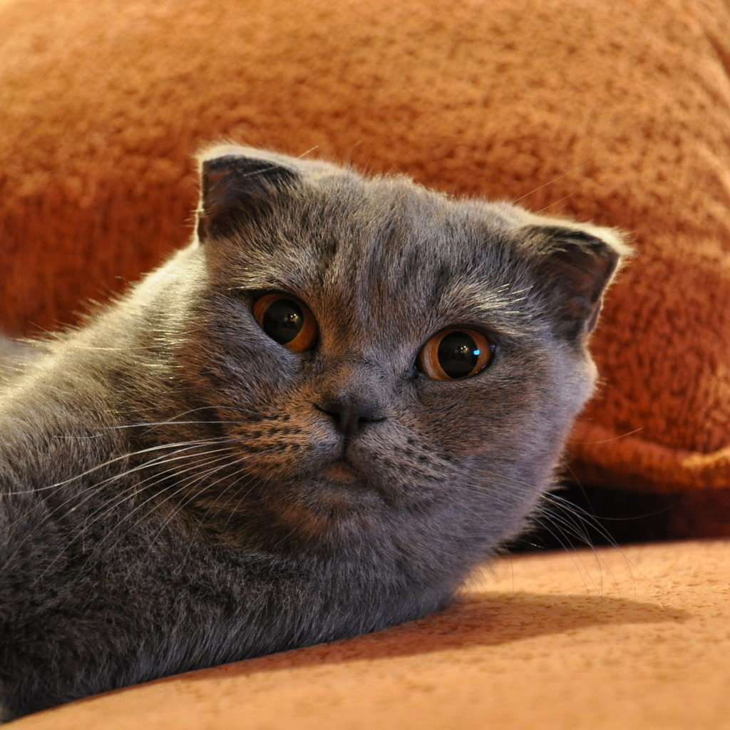 Gorgeous Scottish Fold Cat for 1024 x 1024 iPad resolution