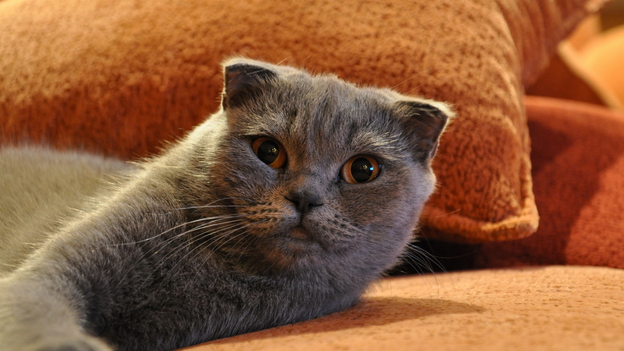 Gorgeous Scottish Fold Cat for 1280 x 720 HDTV 720p resolution