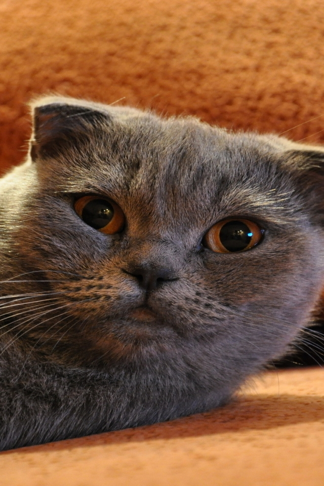 Gorgeous Scottish Fold Cat for 640 x 960 iPhone 4 resolution