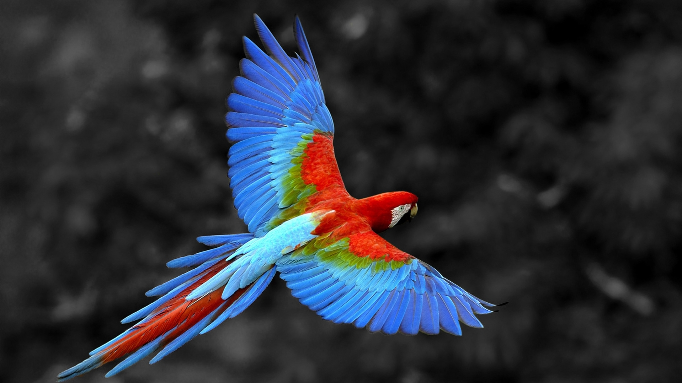 Great Colorful Parrot for 1366 x 768 HDTV resolution
