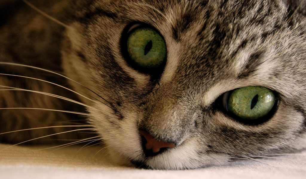 Green Eye Manx Cat for 1024 x 600 widescreen resolution