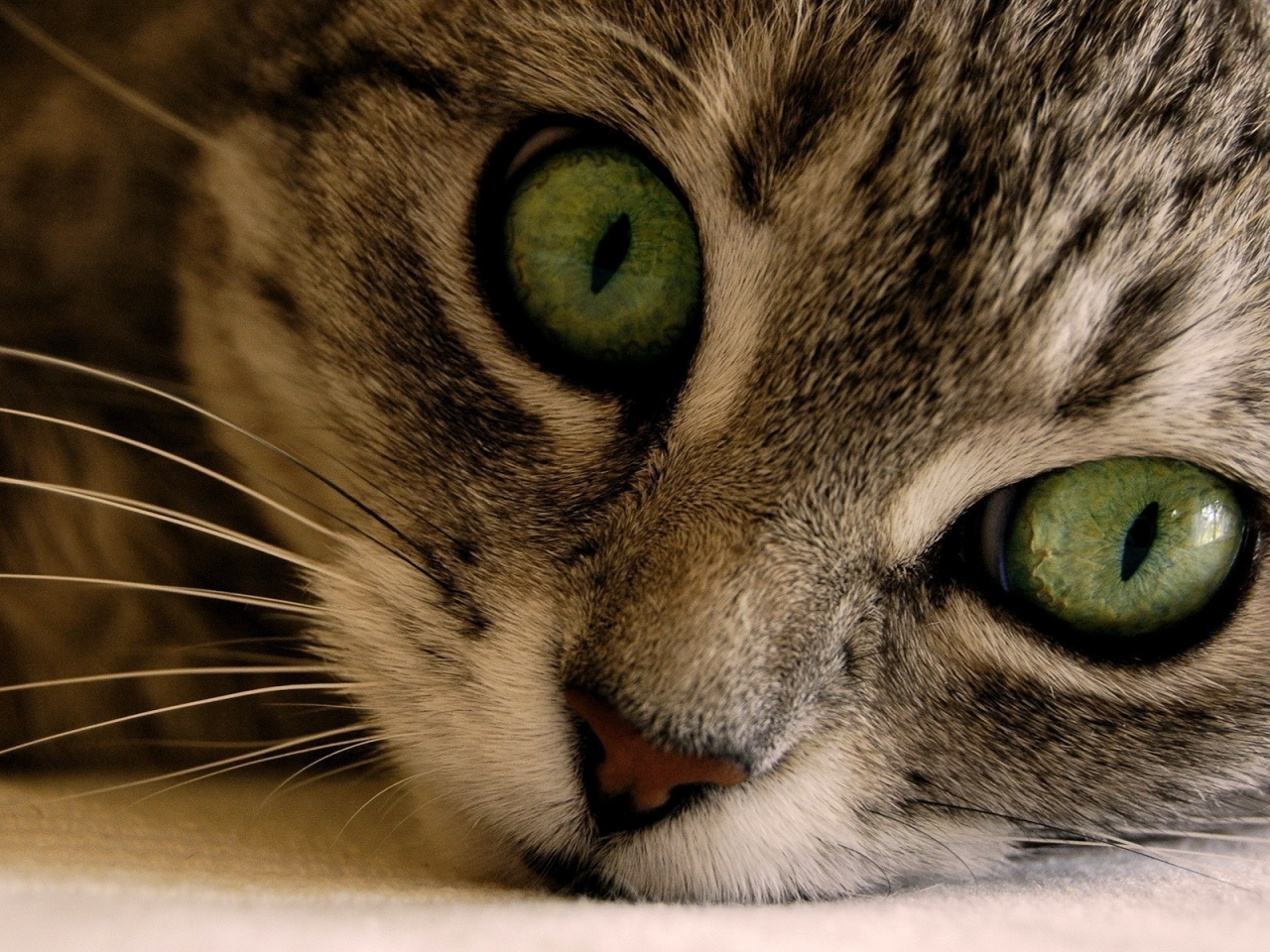 Green Eye Manx Cat for 1280 x 960 resolution